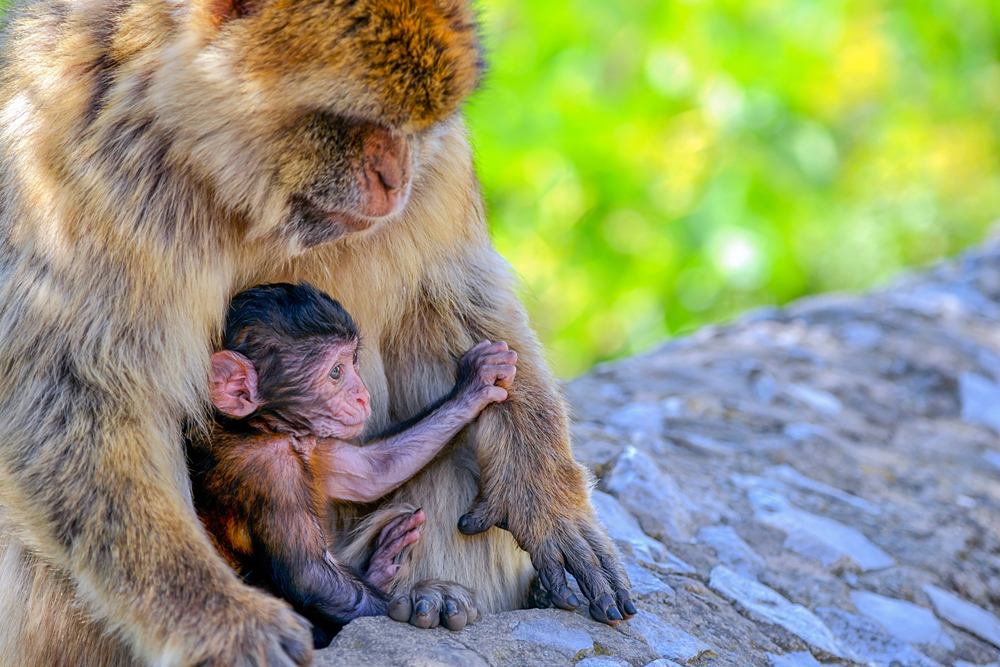 Macaques of Gibraltar
