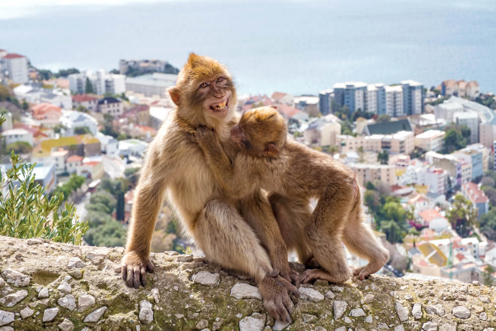 Barbary Macaque family in Gibraltar Nature Reserve